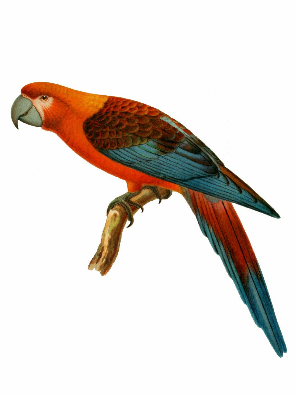 Ara Tricolor