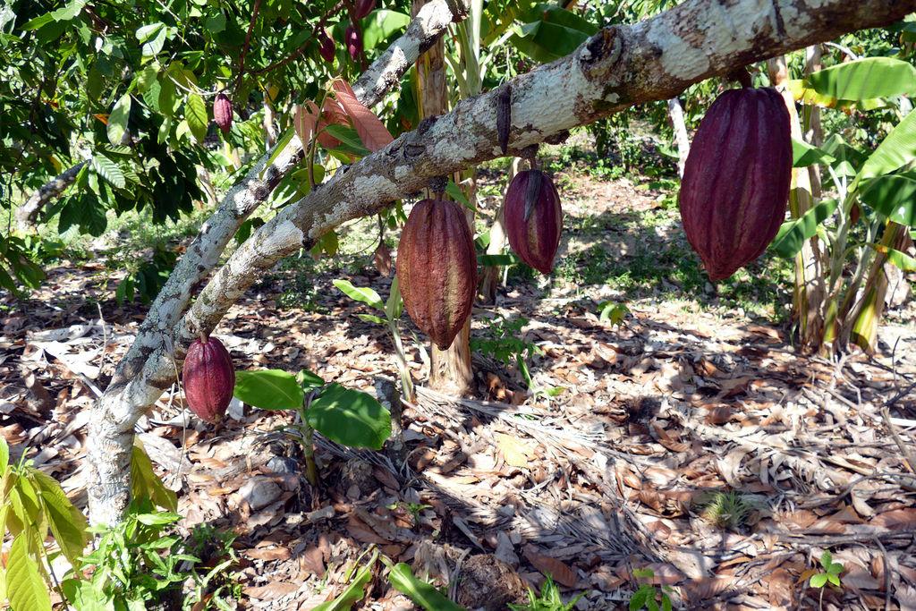 Cacao en Baracoa